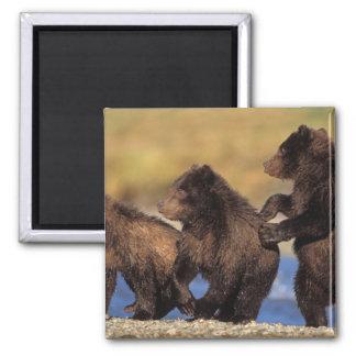 oso marrón, arctos del Ursus, oso grizzly, Ursus Imán Cuadrado
