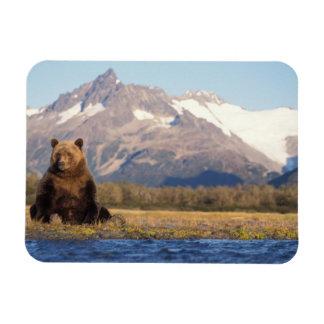 oso marrón, arctos del Ursus, oso grizzly, Ursus Imanes