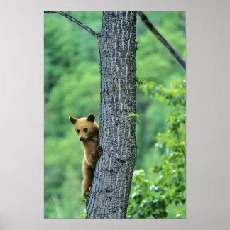 Oso negro coloreado canela en árbol adentro poster