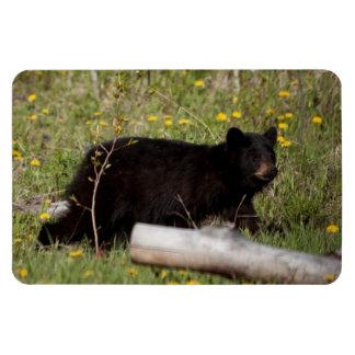 Oso negro Cub de BLBC Imán