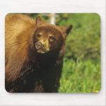 Oso negro juvenil en los lagos Waterton nacionales Alfombrillas De Ratones