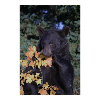 Oso negro posters