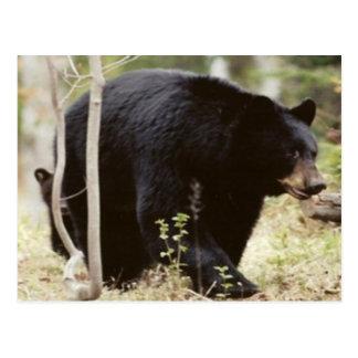 oso negro postal