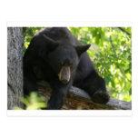 oso negro postales