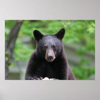 oso negro póster