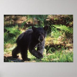 oso negro Ursus americanus cachorro en Anan Posters