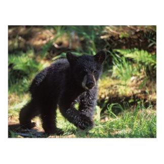 oso negro, Ursus americanus, cachorro en Anan Tarjeta Postal