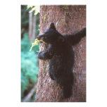 oso negro, Ursus americanus, cachorro en árbol, Fotografía