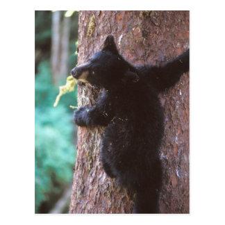 oso negro, Ursus americanus, cachorro en árbol, Tarjetas Postales