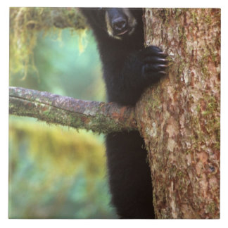 oso negro, Ursus americanus, cachorro en el árbol, Azulejo Cuadrado Grande