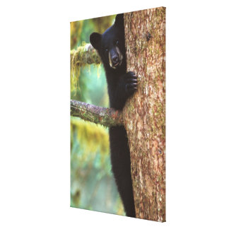 oso negro Ursus americanus cachorro en el árbol Lona Estirada Galerias