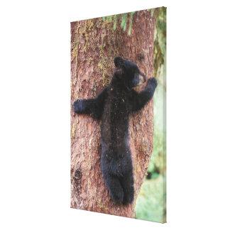 oso negro Ursus americanus cachorro en el árbol Lona Envuelta Para Galerias