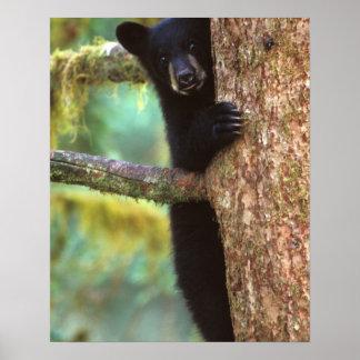 oso negro, Ursus americanus, cachorro en el árbol, Posters
