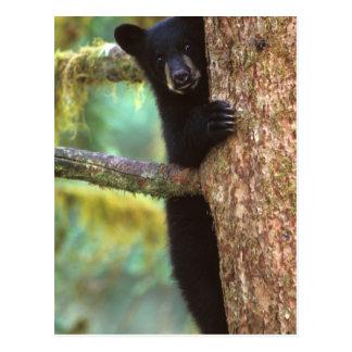 oso negro, Ursus americanus, cachorro en el árbol, Postales
