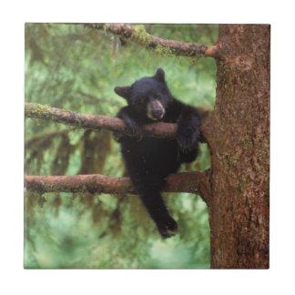 oso negro, Ursus americanus, cachorro en un árbol Azulejo Cuadrado Pequeño