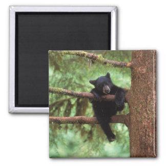 oso negro, Ursus americanus, cachorro en un árbol Imán Cuadrado