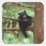 oso negro, Ursus americanus, cachorro en un árbol Pegatinas Cuadradas