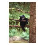 oso negro, Ursus americanus, cachorro en un árbol Fotografias