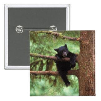 oso negro, Ursus americanus, cachorro en un árbol Pin Cuadrado
