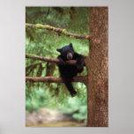 oso negro, Ursus americanus, cachorro en un árbol Póster