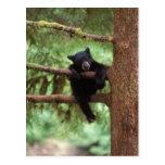 oso negro, Ursus americanus, cachorro en un árbol Postales
