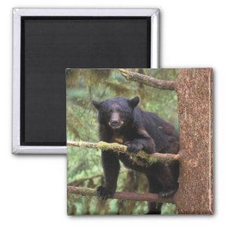 oso negro, Ursus americanus, cerda en el árbol, An Imán Cuadrado