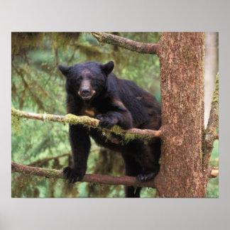 oso negro, Ursus americanus, cerda en el árbol, An Póster
