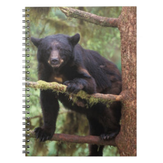 oso negro, Ursus americanus, cerda en el árbol, An Spiral Notebooks
