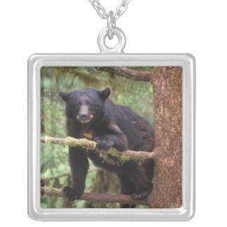 oso negro, Ursus americanus, cerda en el árbol, Colgante Cuadrado