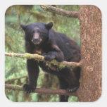 oso negro, Ursus americanus, cerda en el árbol, Pegatina Cuadrada