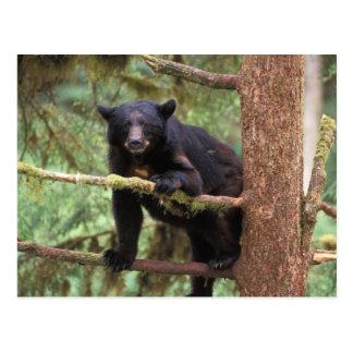 oso negro, Ursus americanus, cerda en el árbol, Tarjeta Postal