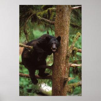 oso negro Ursus americanus cerda en un árbol Poster