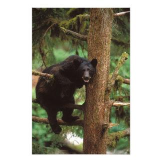 oso negro, Ursus americanus, cerda en un árbol Impresiones Fotográficas