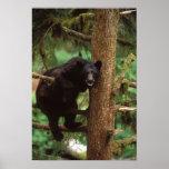 oso negro, Ursus americanus, cerda en un árbol Póster