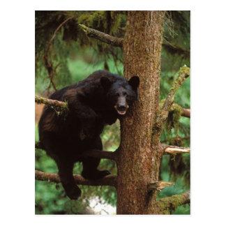 oso negro, Ursus americanus, cerda en un árbol Tarjetas Postales