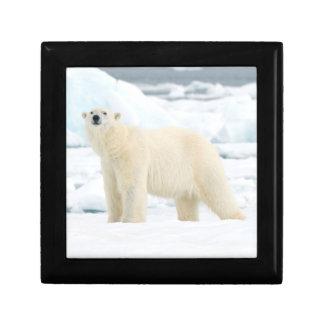 Oso polar adulto en busca de la comida cajas de joyas