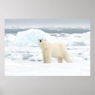 Oso polar adulto en busca de la comida posters