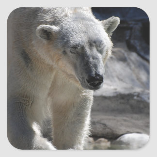 Oso polar blanco lindo pegatina cuadrada