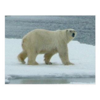 Oso polar blanco tarjetas postales