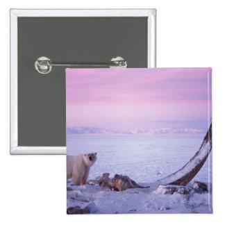 Oso polar con la res muerta de la ballena de bowhe pins