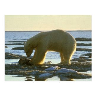Oso polar de itinerancia tarjetas postales