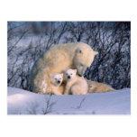 Oso polar de la madre que se sienta con los tarjeta postal