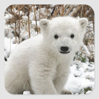 Oso polar del bebé calcomania cuadradas