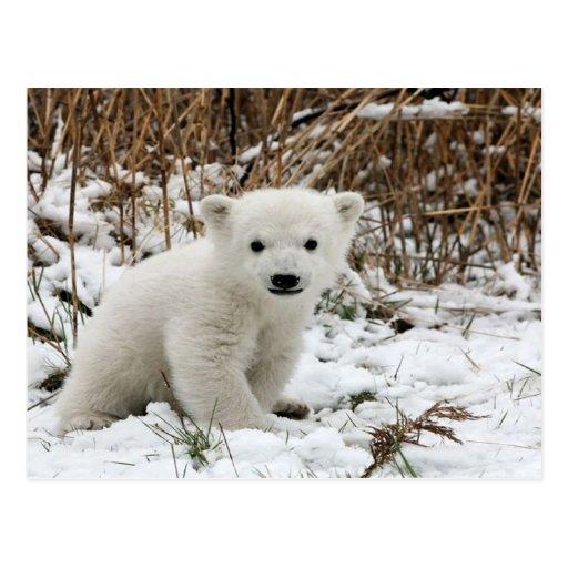 Oso polar del bebé postal
