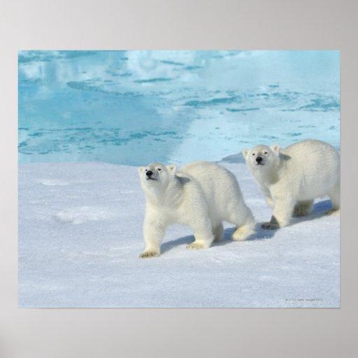 Oso polar, dos tazas en el hielo de paquete, Ursus Poster