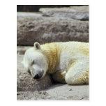 Oso polar el dormir tarjetas postales