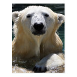 Oso polar empapado postales
