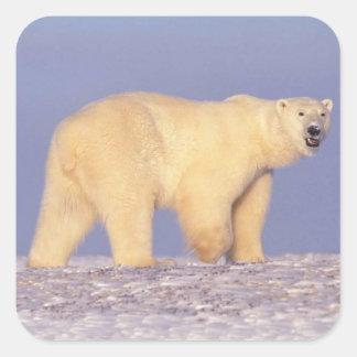 Oso polar en Alaska ártica Pegatina Cuadrada