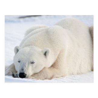 Oso polar en invierno postales