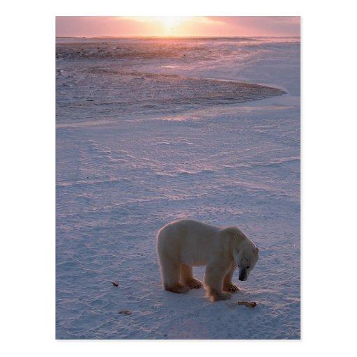 Oso polar en la puesta del sol tarjeta postal